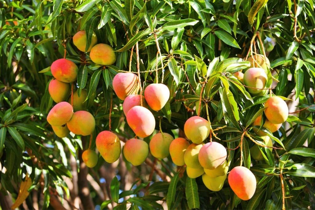 pianta mango